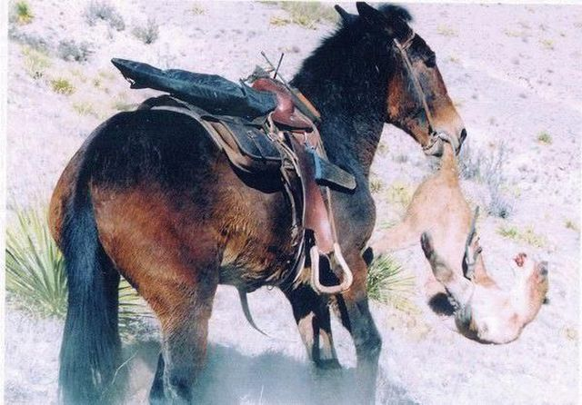The violent confrontation of a mule and a cougar (4 pics)