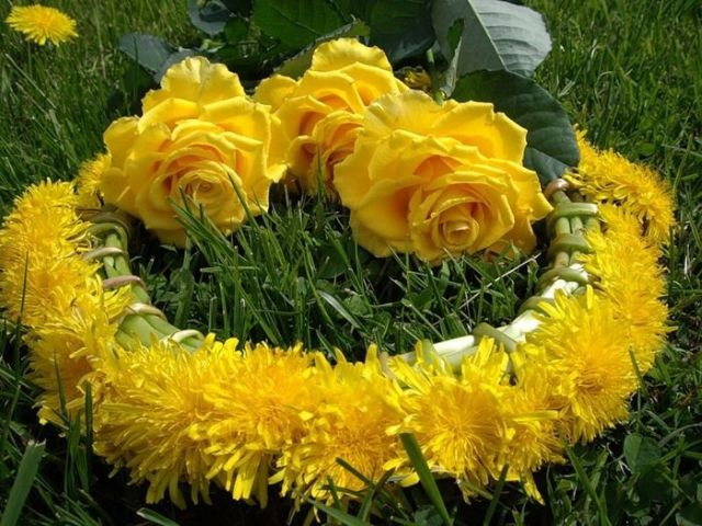 1 Beautiful Yellow Roses 32 Pics