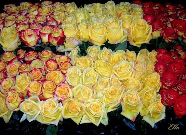 Beautiful yellow roses (32 pics)