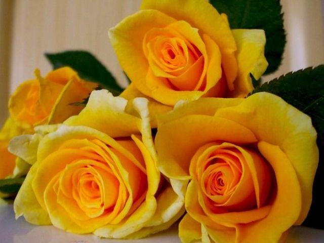 Beautiful yellow roses (32 pics)
