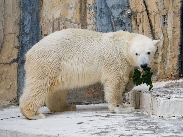Polar bear and a watermelon (12 pics)