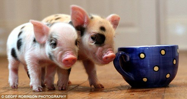 Cute micro-pigs for up to £700 - the latest pet craze (8 pics + 1 video)