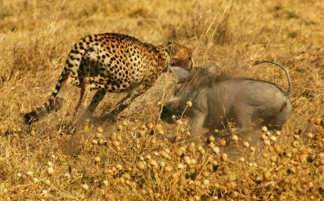 Warthog vs cheetahs (4 pics)