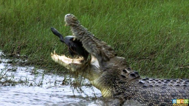 Crocodiles, they can kill anything (8 pics)