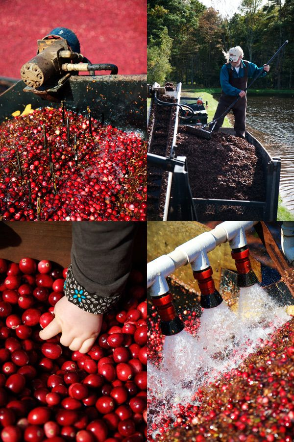 Cranberry harvest in New England (13 pics)