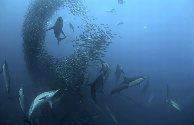 The great sardine run – the greatest natural predatory show on earth (16 pics)
