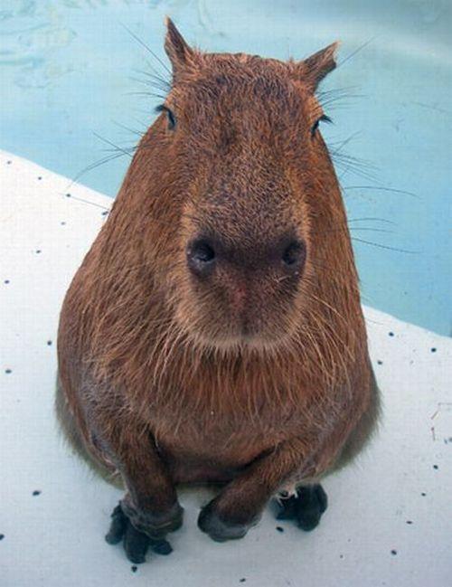 Caplin Rous – a famous Capybara (71 pics)