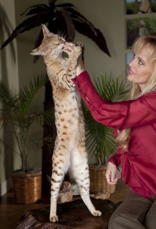 Scarlett's Magic the Savannah – the world's tallest cat (12