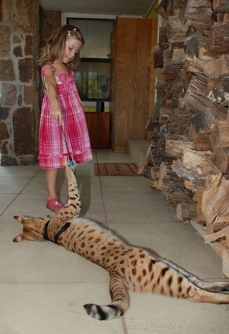 Scarlett's Magic the Savannah – the world's tallest cat (12 pics + 1 video)