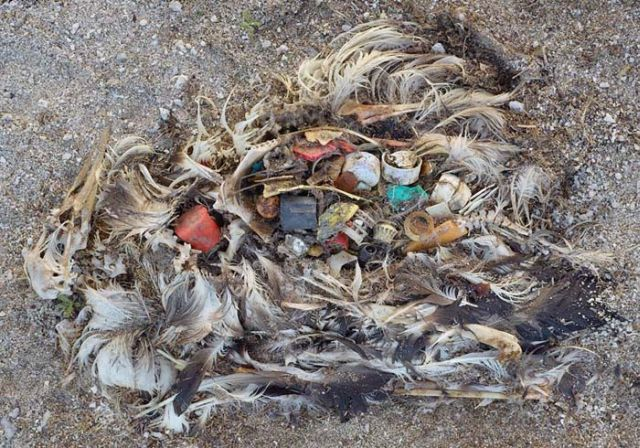 To know why albatrosses die, just look into their stomach!! (30 pics)