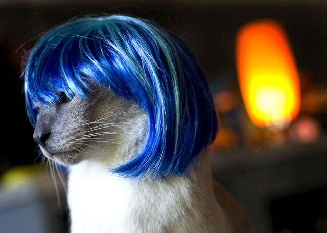 Wigs for cats (8 pics)