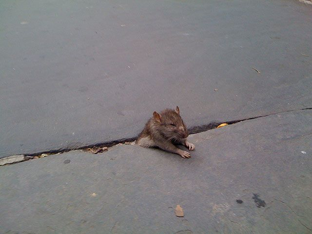 Rat Stuck In Sidewalk Some Photoshopping 33 Pics