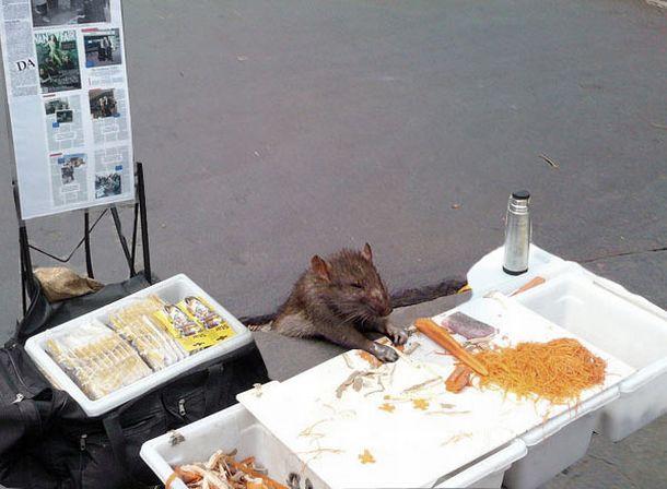 Rat Stuck in Sidewalk + some Photoshopping (33 pics)