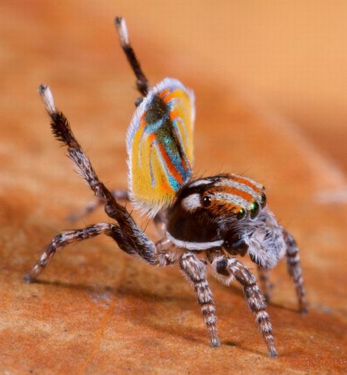 The Amazing Peacock Spider (4 pics)