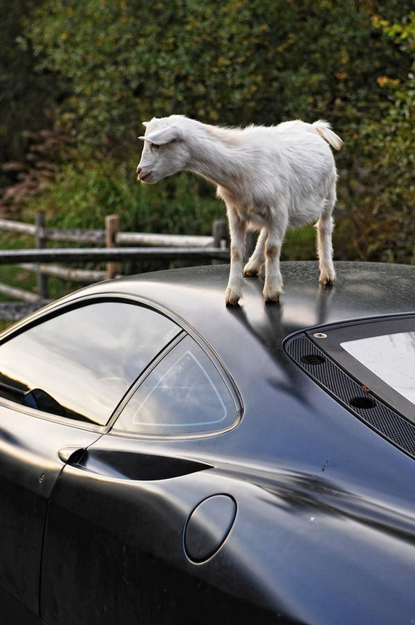 What Animal is Having Fun on the Roof of this Ferrari? (5 pics)