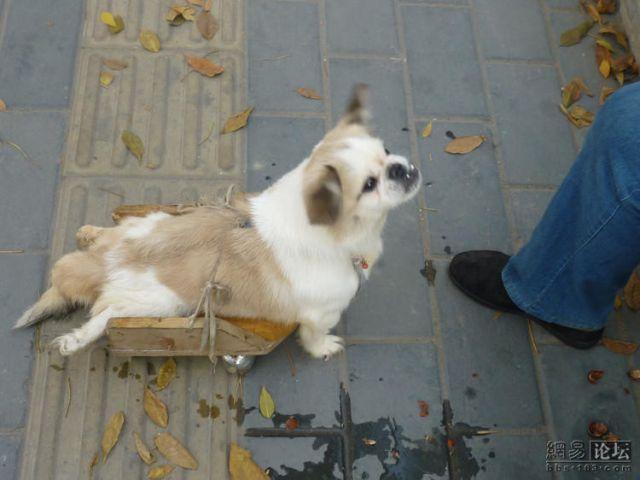Little Cute Handicapped Doggie :( (9 pics)