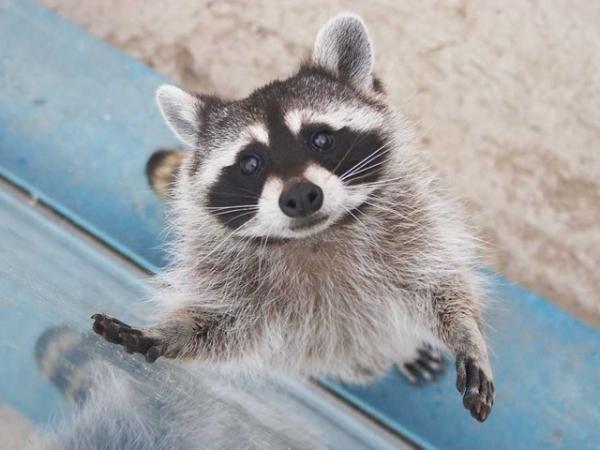 Super Cool Racoons (49 pics + 2 gifs)