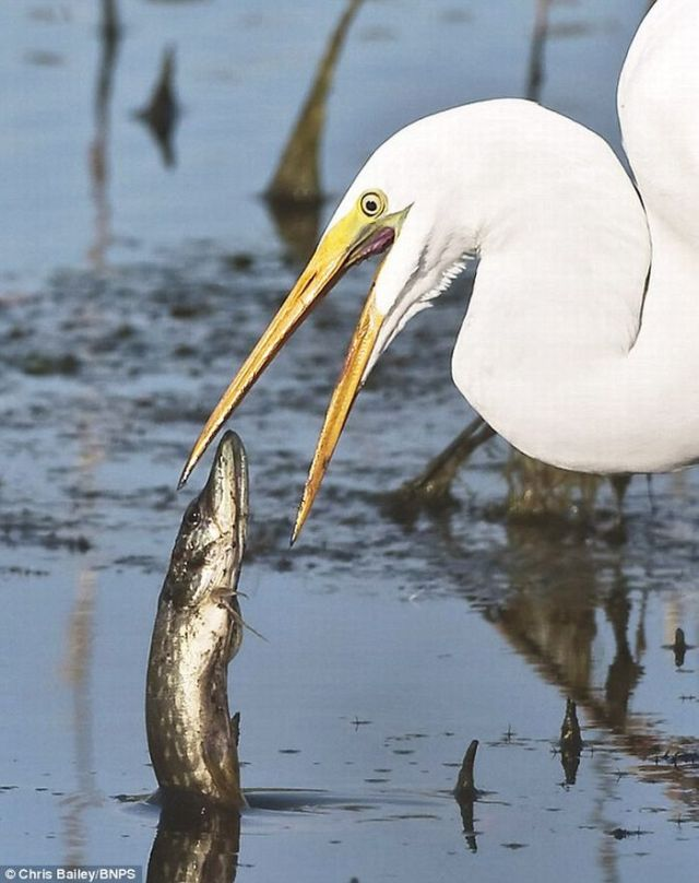 Fish Jumps Directly in Heron's Mouth (3 pics)