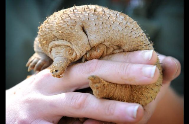 Bald Spiny Anteaters (8 pics)