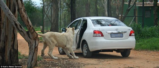 Trip to Safari Park Almost Became Fatal for the Whole Family (6 pics)