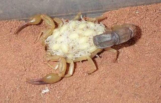 Scorpions Family (7 pics)
