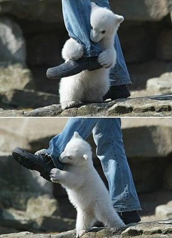 OMG! Polar Bear Attacks Human (4 pics)