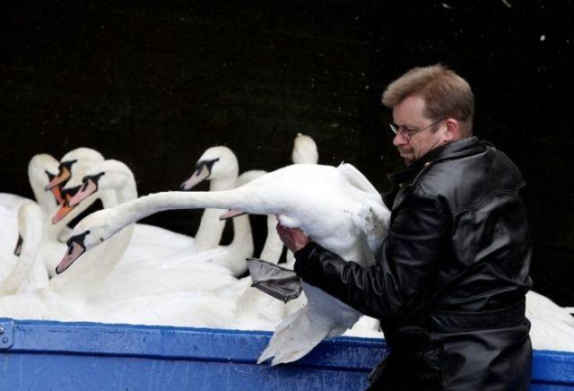 Evacuation of Swans in Hamburg, Germany (5 pics)