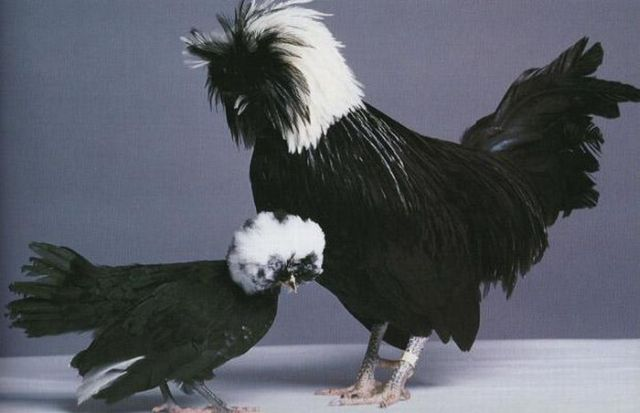 Amazing and Weird Chicken from Around the World (18 pics)
