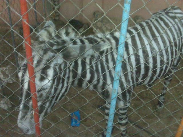 How to Turn Donkey Into Zebra (6 pics)