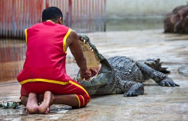 Scary and Incredible Crocodile Show (21 pics)