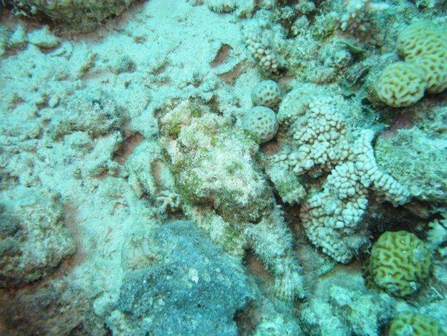 Stonefish (7 pics)