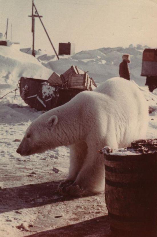 Giving Food to Polar Bears (12 pics)