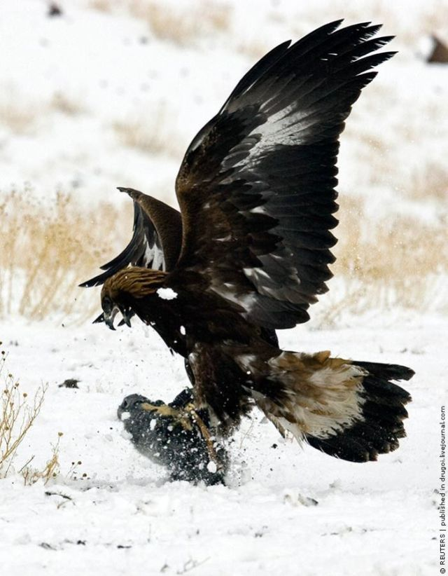 Eagle and Falcon Hunting in Kazakhstan (9 pics)