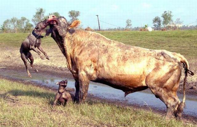 Pit Bulls Attacked a Bull (4 pics)