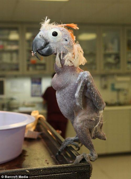 Oscar the Bald Parrot (5 pics) - Izismile.com