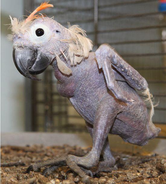 Oscar the Bald Parrot (5 pics)