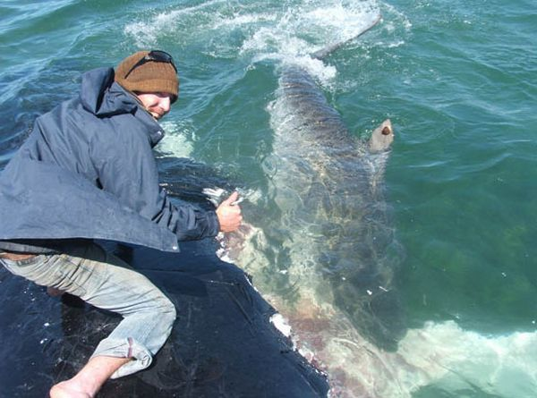 Would You Be Able to Pet a Tiger Shark? (13 pics + 1 video)