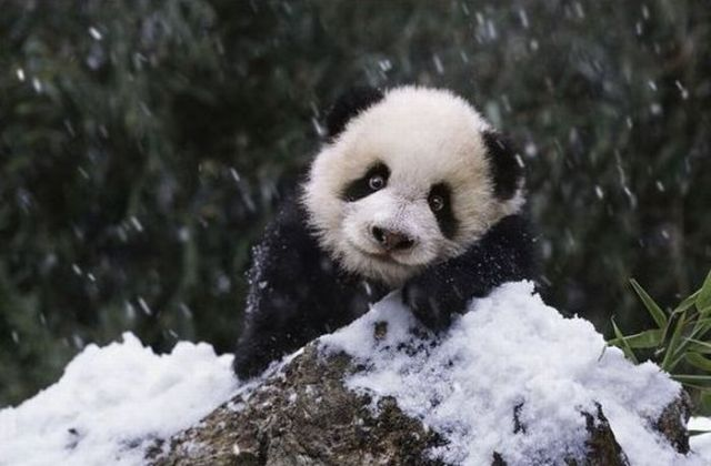 Adorable Panda Family Has Fun in the First Snow (9 pics ...