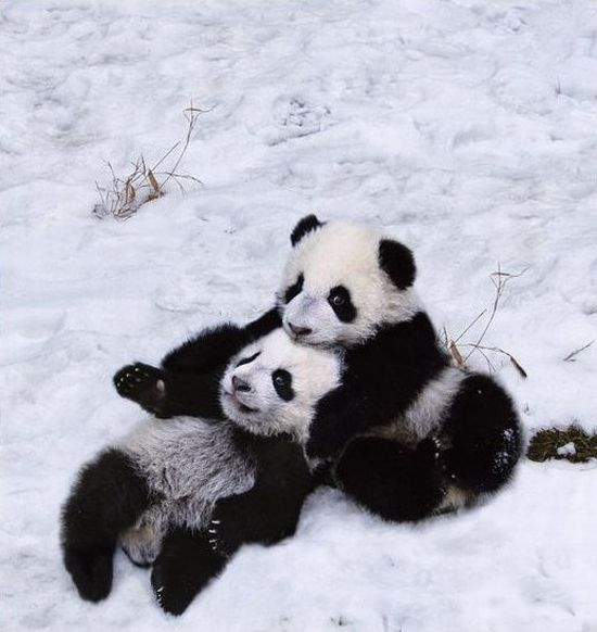 Adorable Panda Family Has Fun in the First Snow (9 pics)