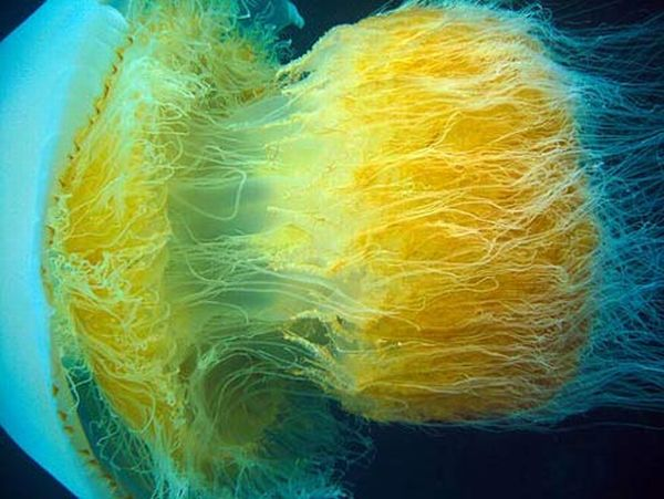 Incredibly Beautiful and Colorful Jellyfish (17 pics)