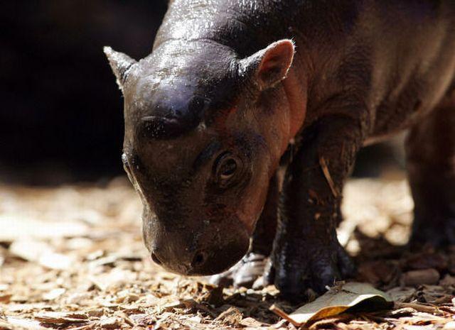 Cuteness Overload: Newborn Pygmy Hippo (13 pics)