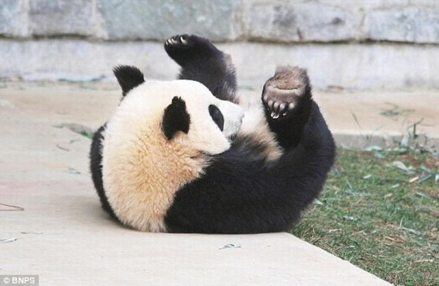 Panda Did a Roly-Poly in His Sleep!! (8 pics)