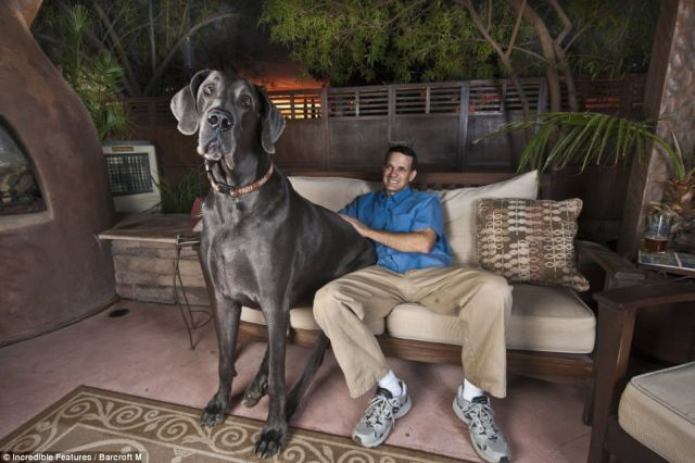 A Great Dane as Big as a Pony!! (5 pics)
