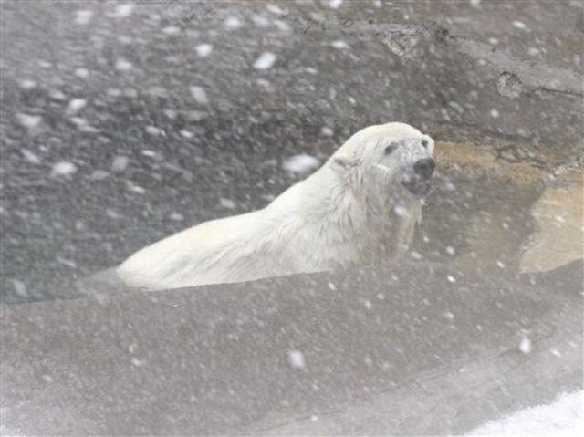 It's Christmas too for Polar Bears in San Francisco Zoo! (14 pics)
