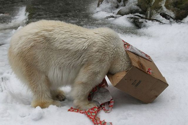 It's Christmas too for Polar Bears in San Francisco Zoo! (14 pics)
