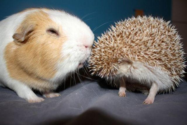 Funny Hedgehogs (34 pics)