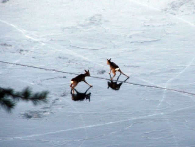 Rescuing 2 Deer Stuck on a Frozen Lake (10 pics)
