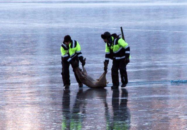 Rescuing 2 Deer Stuck on a Frozen Lake (10 pics)