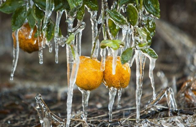 Consequences of Frost in Florida (23 pics)