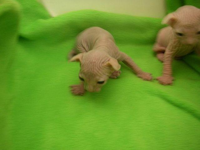Hairless Cats (20 pics)